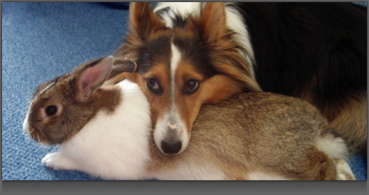 Image of a Dog resting his head on top of a Bunny Rabbit
