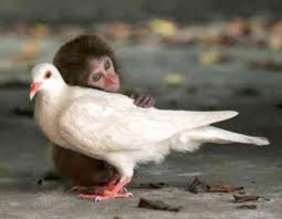Image of a Baby Chimp touching a White Dove