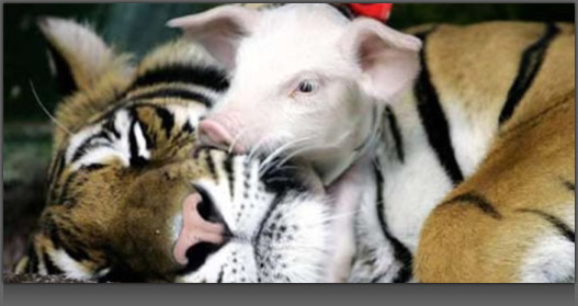 Image of a Pig cuddling with a Tiger