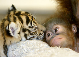 Image of a Baby Chimp and Baby Tiger