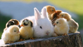 Image of many Baby Chicks surrounding an adult Rabbit