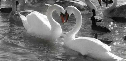 Image of two swans meeting face to face