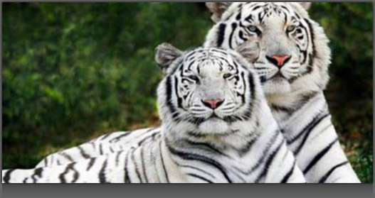 Image of 2 White Tigers